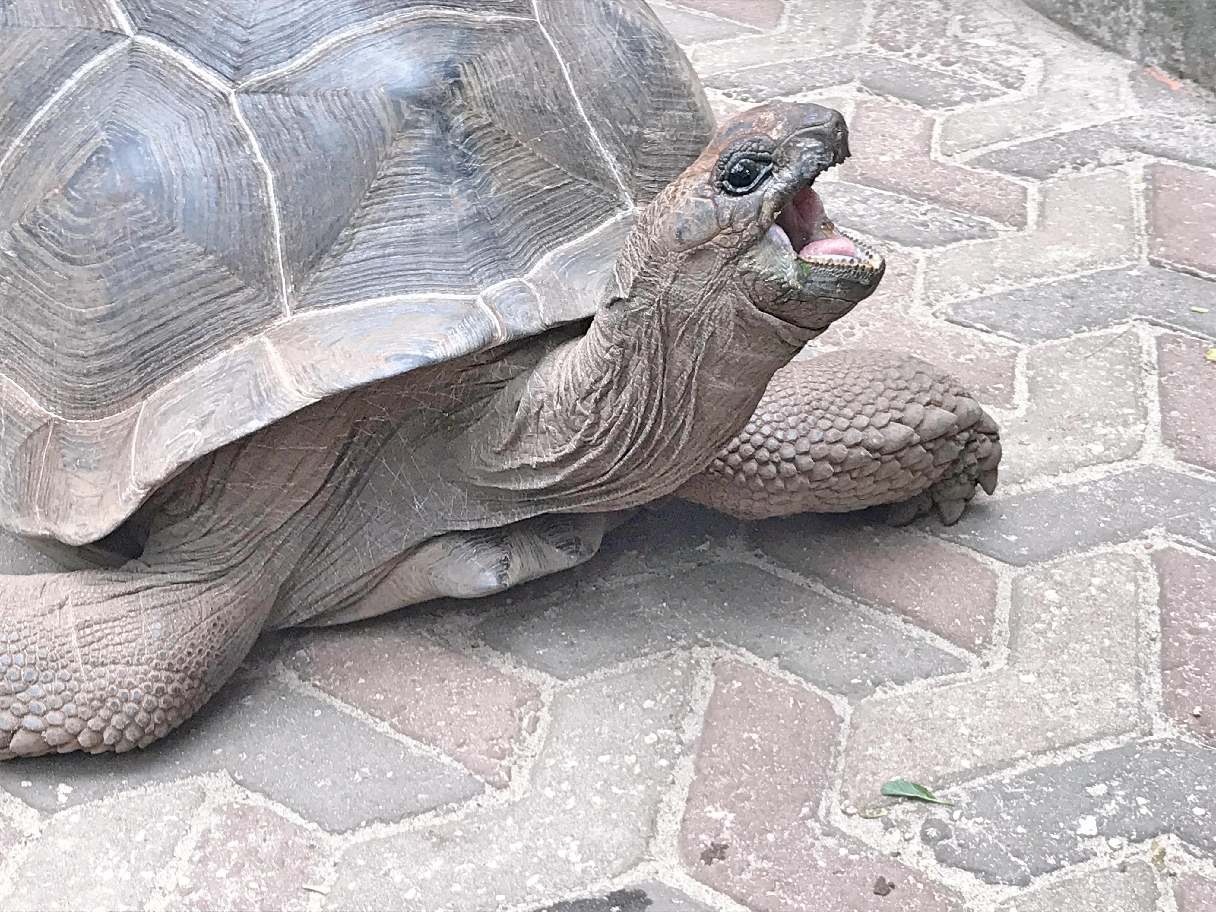 Giant tortoise Prison Island