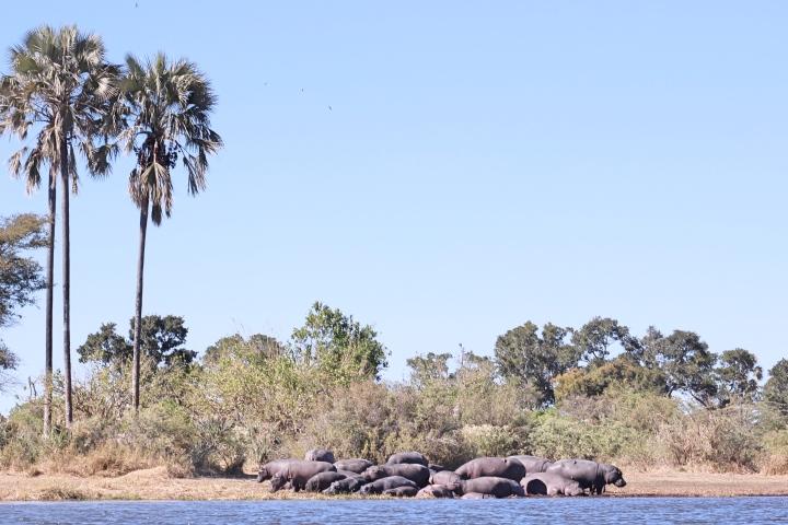 Hippos Okavango Delta