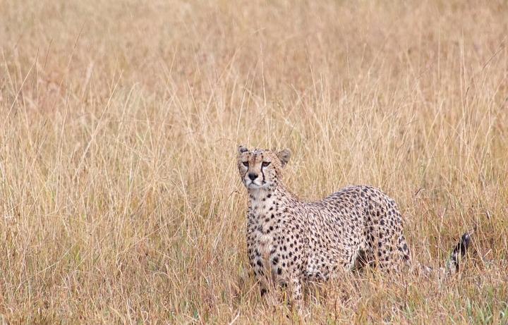 Beautiful Cheetah closeup Serengeti Tanzania