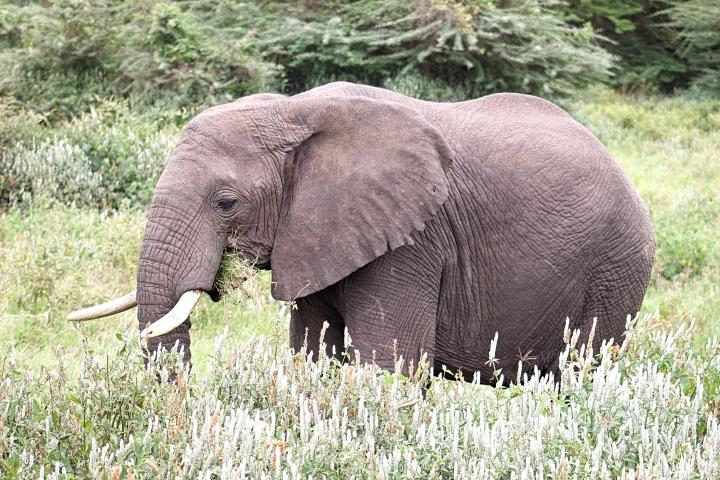 Elephant close up Ngorongoro Crater Tanzania