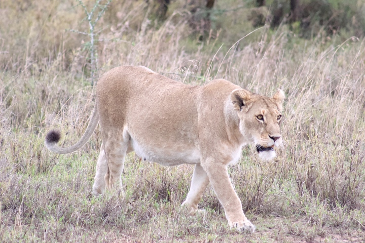 Beautiful lion photos Serengeti Tanzania