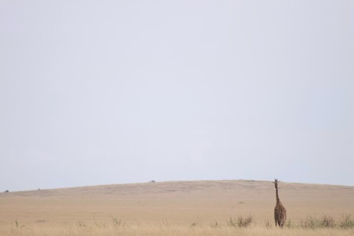 Giraffes in the Serengeti Tanzania
