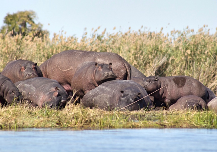 Hippos at the Okavango Delta Botswana