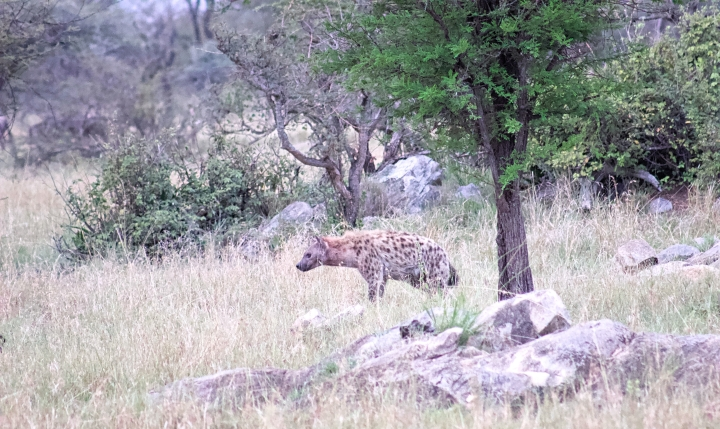 Hyena stalking its prey just outside our campsite on our second day in the Serengeti