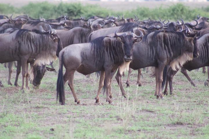 Wildebeest herd Serengeti Tanzania