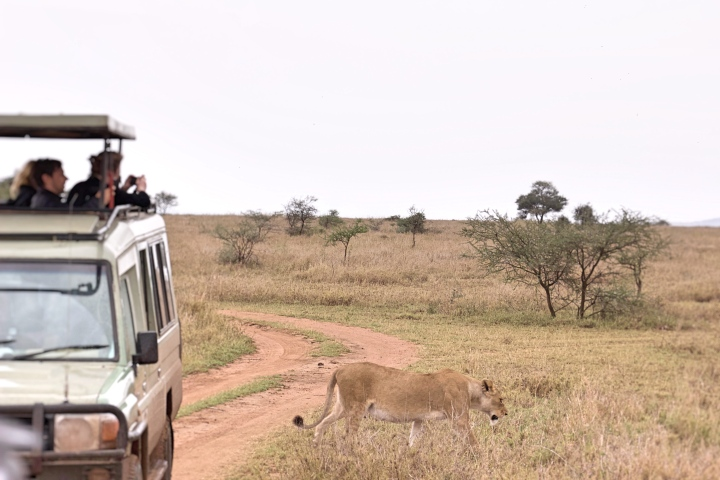 Lions on safari Serengeti Tanzania