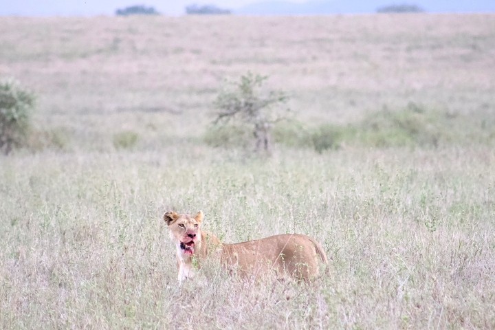 Lioness with bloodied mouth immediately after her kill in the Serengeti Tanzania