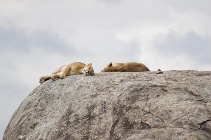 Sleeping lions Serengeti Tanzania