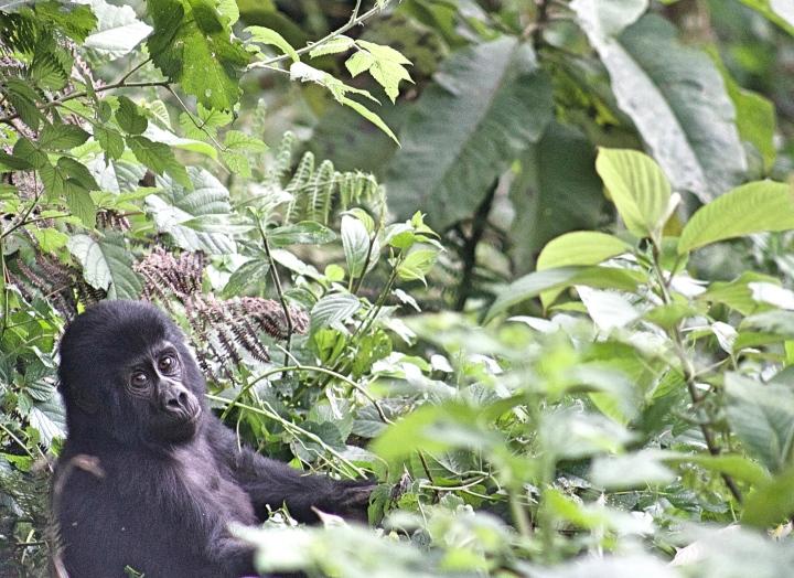 Baby mountain gorilla Bwindi impenetrable forest Uganda