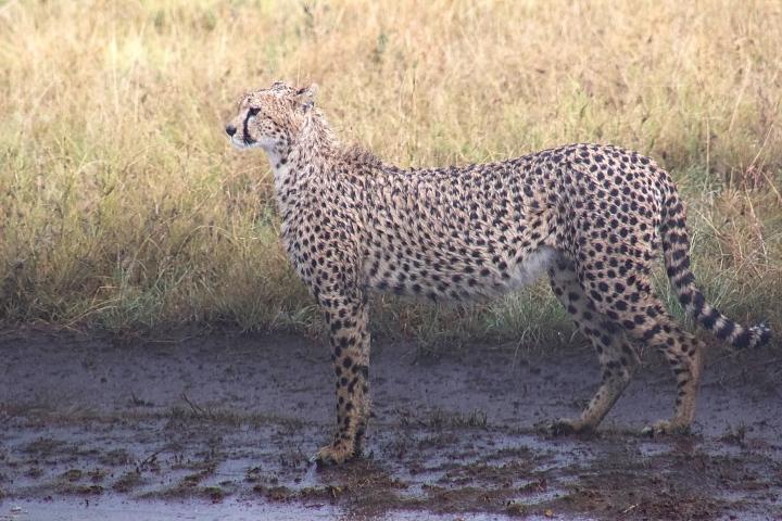Close up cheetah shots Serengeti Tanzania
