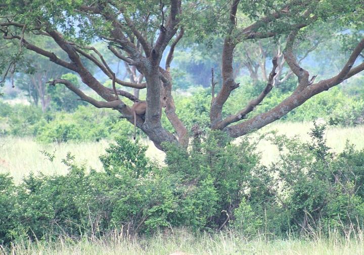 Tree climbing lion at Queen Elizabeth National Park Uganda