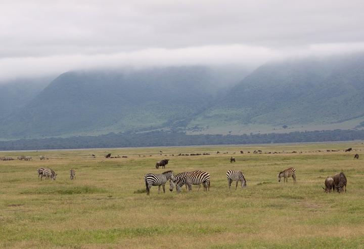 Zebras Ngorongoro Crater Tanzania