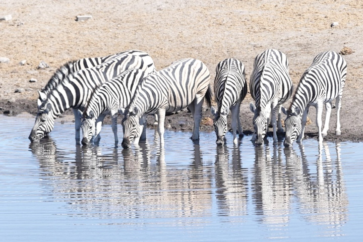 Zebras drinking from the watering hole in Etosha National Park, Namibia